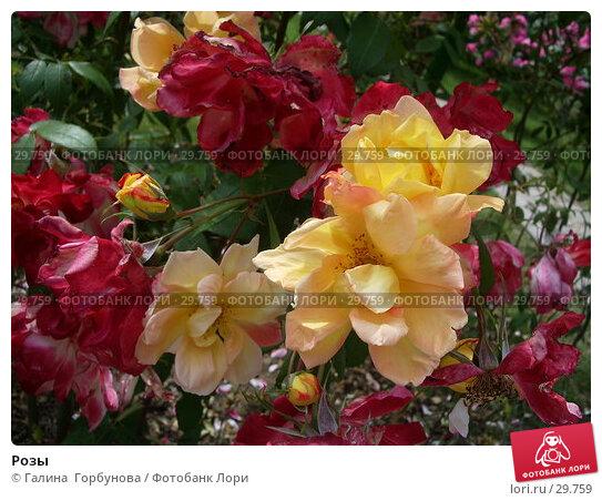 Розы, фото № 29759, снято 22 июня 2005 г. (c) Галина  Горбунова / Фотобанк Лори
