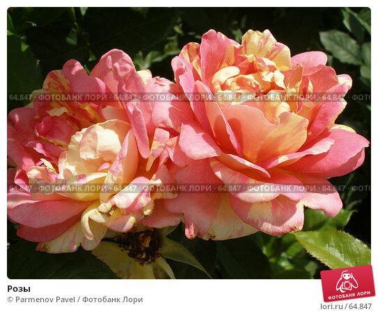 Розы, фото № 64847, снято 23 июня 2007 г. (c) Parmenov Pavel / Фотобанк Лори