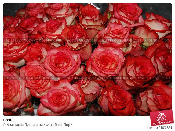 Розы, фото № 103851, снято 24 марта 2017 г. (c) Анастасия Лукьянова / Фотобанк Лори