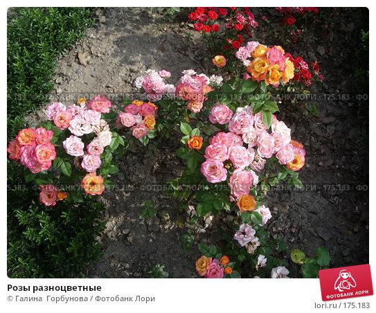 Розы разноцветные, фото № 175183, снято 22 июня 2005 г. (c) Галина  Горбунова / Фотобанк Лори
