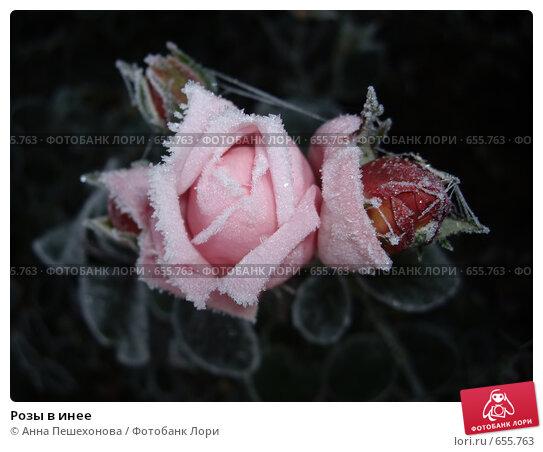 Розы в инее. Стоковое фото, фотограф Анна Пешехонова / Фотобанк Лори