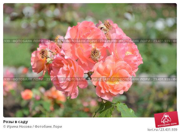 Розы в саду. Стоковое фото, фотограф Ирина Носова / Фотобанк Лори