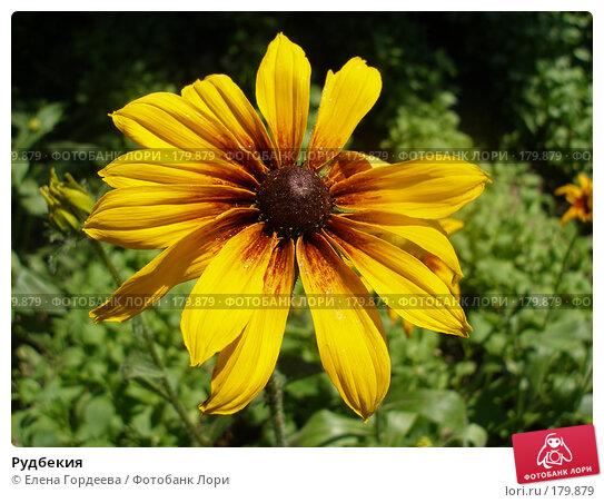 Рудбекия, фото № 179879, снято 8 июля 2006 г. (c) Елена Гордеева / Фотобанк Лори