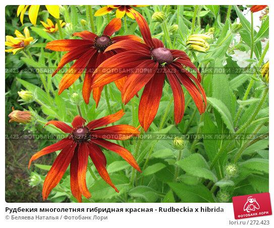 Купить «Рудбекия многолетняя гибридная красная - Rudbeckia x hibrida», фото № 272423, снято 11 августа 2007 г. (c) Беляева Наталья / Фотобанк Лори