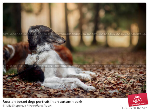 Купить «Russian borzoi dogs portrait in an autumn park», фото № 30160527, снято 23 октября 2016 г. (c) Julia Shepeleva / Фотобанк Лори