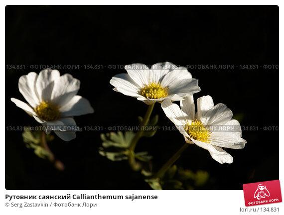 Рутовник саянский Callianthemum sajanense, фото № 134831, снято 14 августа 2006 г. (c) Serg Zastavkin / Фотобанк Лори