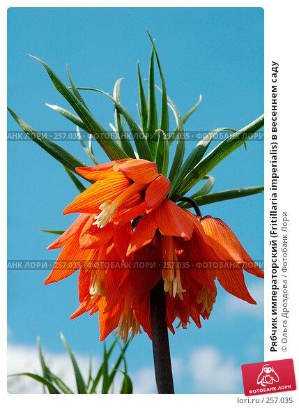 Рябчик императорский (Fritillaria imperialis) в весеннем саду, фото № 257035, снято 14 мая 2005 г. (c) Ольга Дроздова / Фотобанк Лори
