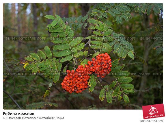 Рябина красная, фото № 151191, снято 10 сентября 2006 г. (c) Вячеслав Потапов / Фотобанк Лори