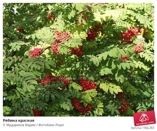Рябина красная, фото № 192251, снято 1 сентября 2005 г. (c) Мударисов Вадим / Фотобанк Лори