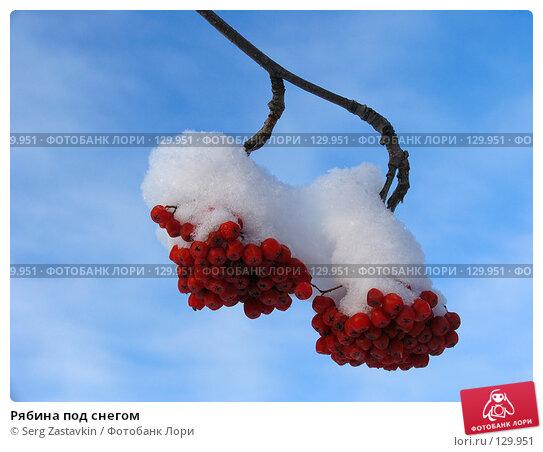 Купить «Рябина под снегом», фото № 129951, снято 17 декабря 2004 г. (c) Serg Zastavkin / Фотобанк Лори