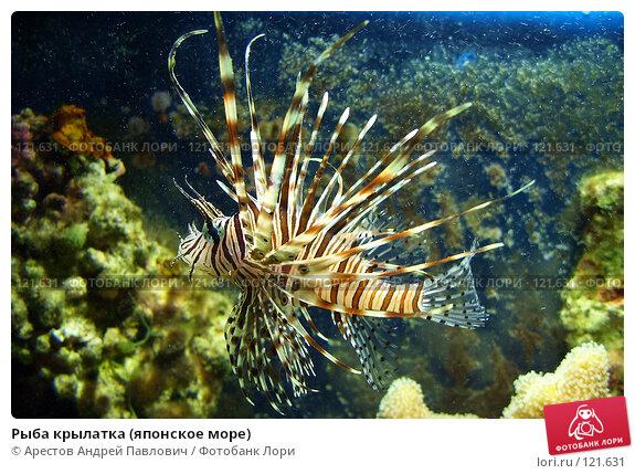 Рыба крылатка (японское море), фото № 121631, снято 12 ноября 2006 г. (c) Арестов Андрей Павлович / Фотобанк Лори