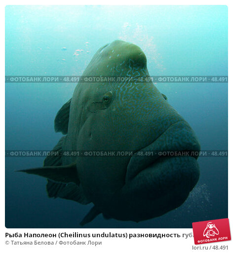 Рыба Наполеон (Cheilinus undulatus) разновидность губана, фото № 48491, снято 24 ноября 2006 г. (c) Татьяна Белова / Фотобанк Лори
