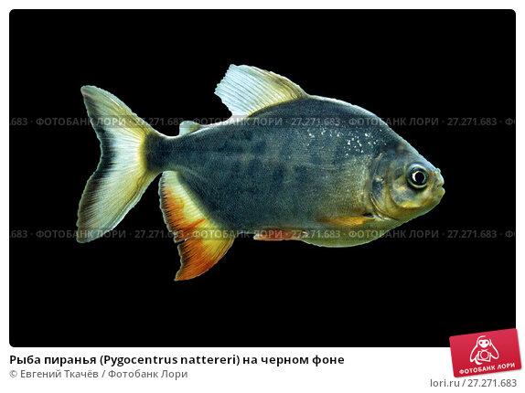 Купить «Рыба пиранья (Pygocentrus nattereri) на черном фоне», фото № 27271683, снято 19 июля 2017 г. (c) Евгений Ткачёв / Фотобанк Лори