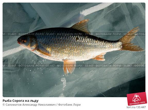 Рыба Сорога на льду, фото № 33447, снято 17 марта 2007 г. (c) Саломатов Александр Николаевич / Фотобанк Лори