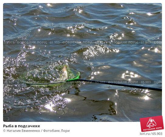 Рыба в подсачеке, фото № 65903, снято 11 августа 2006 г. (c) Наталия Евмененко / Фотобанк Лори