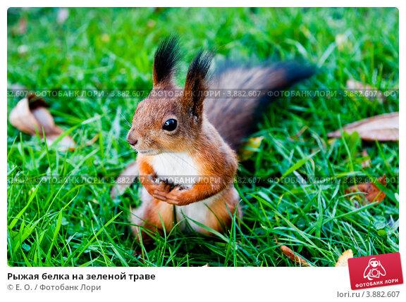 Купить «Рыжая белка на зеленой траве», фото № 3882607, снято 29 сентября 2012 г. (c) Екатерина Овсянникова / Фотобанк Лори