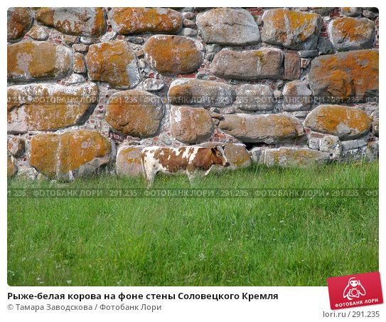 Рыже-белая корова на фоне стены Соловецкого Кремля, эксклюзивное фото № 291235, снято 15 июля 2007 г. (c) Тамара Заводскова / Фотобанк Лори
