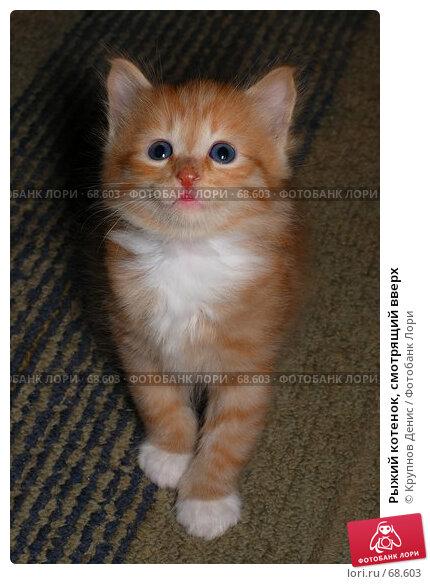 Купить «Рыжий котенок, смотрящий вверх», фото № 68603, снято 3 июля 2007 г. (c) Крупнов Денис / Фотобанк Лори