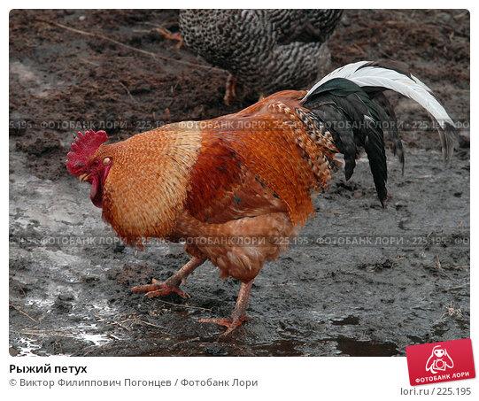 Рыжий петух, фото № 225195, снято 13 марта 2008 г. (c) Виктор Филиппович Погонцев / Фотобанк Лори