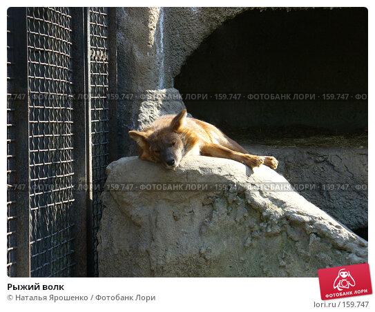 Рыжий волк, фото № 159747, снято 4 мая 2006 г. (c) Наталья Ярошенко / Фотобанк Лори