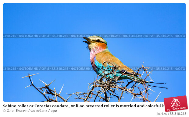 Sabine roller or Coracias caudata, or lilac-breasted roller is mottled and colorful bird — larks, sitting on dry branches of acacia (2010 год). Стоковое фото, фотограф Олег Елагин / Фотобанк Лори