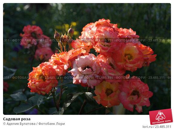 аделия цветок фото