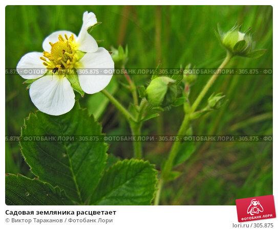 Купить «Садовая земляника расцветает», эксклюзивное фото № 305875, снято 31 мая 2008 г. (c) Виктор Тараканов / Фотобанк Лори