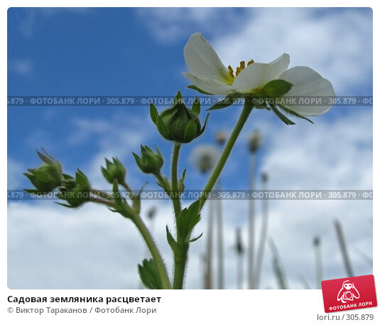 Садовая земляника расцветает, эксклюзивное фото № 305879, снято 31 мая 2008 г. (c) Виктор Тараканов / Фотобанк Лори