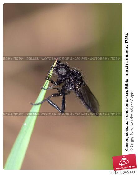 Купить «Самец комара-толстоножки. Bibio marci (Linnaeus 1758).», фото № 290863, снято 10 мая 2008 г. (c) Sergey Toronto / Фотобанк Лори