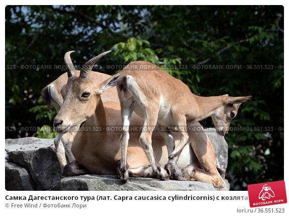 Самка Дагестанского тура (лат. Capra caucasica cylindricornis) с козлятами в зоопарке. Редакционное фото, фотограф Free Wind / Фотобанк Лори