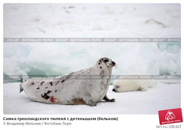Самка гренландского тюленя с детенышем (бельком), фото № 230627, снято 11 марта 2008 г. (c) Владимир Мельник / Фотобанк Лори