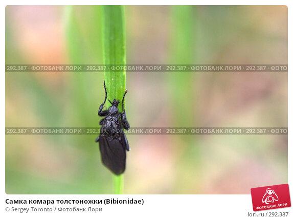 Самка комара толстоножки (Bibionidae), фото № 292387, снято 10 мая 2008 г. (c) Sergey Toronto / Фотобанк Лори