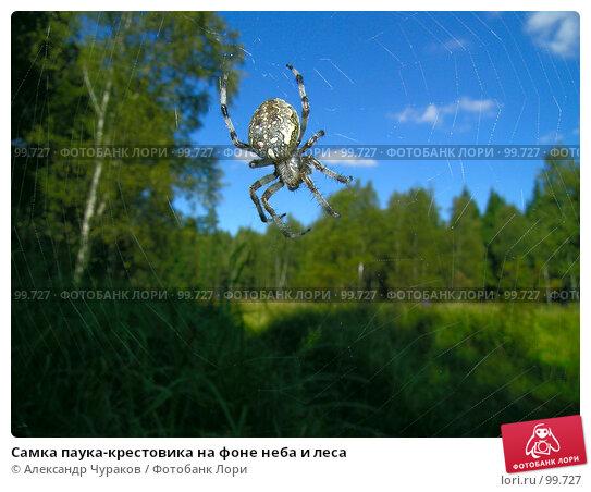 Самка паука-крестовика на фоне неба и леса, фото № 99727, снято 21 августа 2005 г. (c) Александр Чураков / Фотобанк Лори