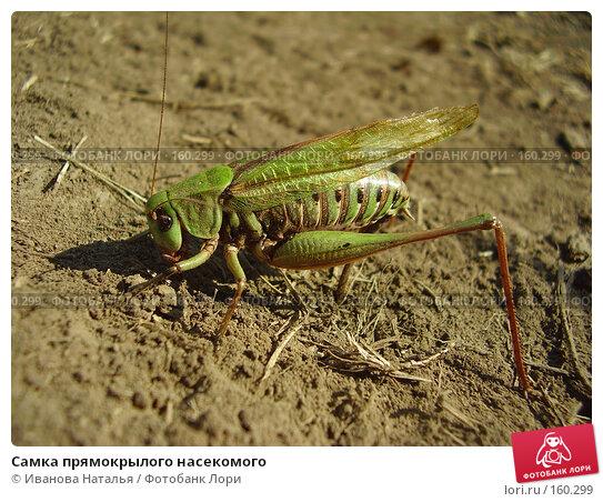 Самка прямокрылого насекомого, фото № 160299, снято 22 августа 2007 г. (c) Иванова Наталья / Фотобанк Лори