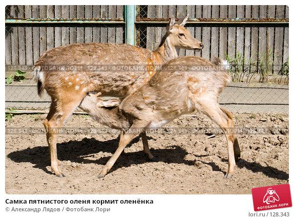 Самка пятнистого оленя кормит оленёнка, фото № 128343, снято 26 мая 2007 г. (c) Александр Лядов / Фотобанк Лори