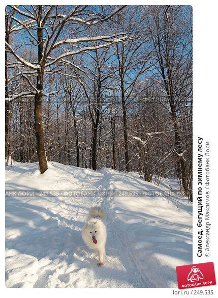Самоед, бегущий по зимнему лесу, фото № 249535, снято 31 декабря 2005 г. (c) Александр Максимов / Фотобанк Лори