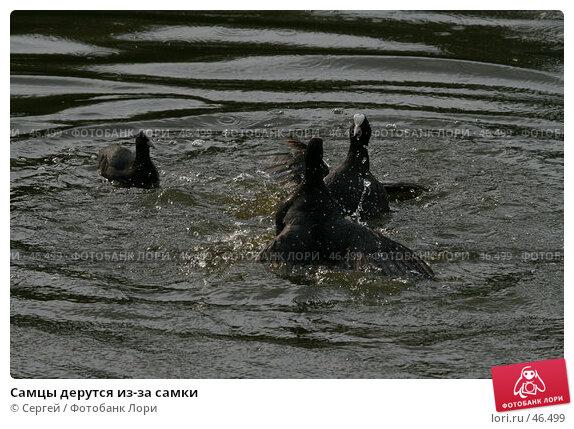 Купить «Самцы дерутся из-за самки», фото № 46499, снято 22 мая 2007 г. (c) Сергей / Фотобанк Лори