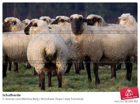 Schafherde. Стоковое фото, фотограф Zoonar.com/Martina Berg / easy Fotostock / Фотобанк Лори