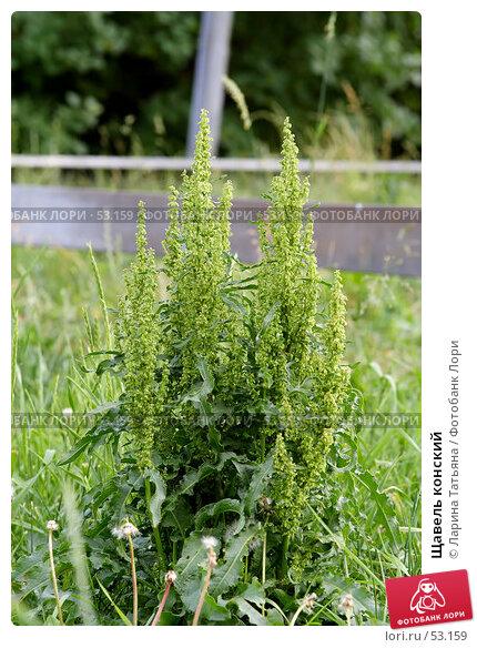 Купить «Щавель конский», фото № 53159, снято 17 июня 2007 г. (c) Ларина Татьяна / Фотобанк Лори
