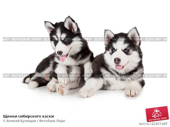 Куплю щенка хаски г костерево