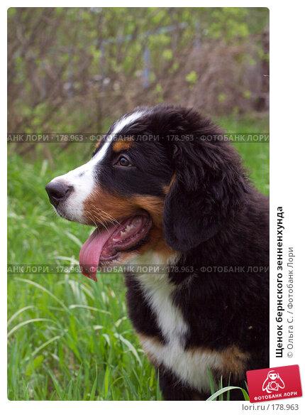 Щенок бернского зенненхунда, фото № 178963, снято 12 мая 2007 г. (c) Ольга С. / Фотобанк Лори