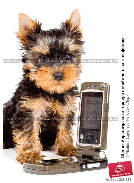Щенок йоркширского терьера с мобильным телефоном, фото № 225883, снято 30 августа 2007 г. (c) Vladimir Suponev / Фотобанк Лори