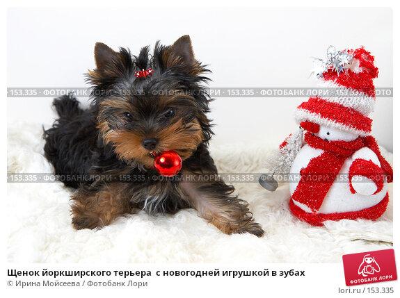 Щенок йоркширского терьера  с новогодней игрушкой в зубах, фото № 153335, снято 23 сентября 2007 г. (c) Ирина Мойсеева / Фотобанк Лори