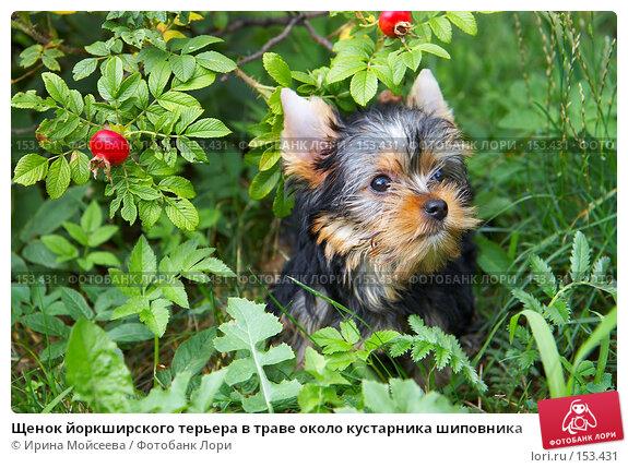 Щенок йоркширского терьера в траве около кустарника шиповника, фото № 153431, снято 31 июля 2007 г. (c) Ирина Мойсеева / Фотобанк Лори