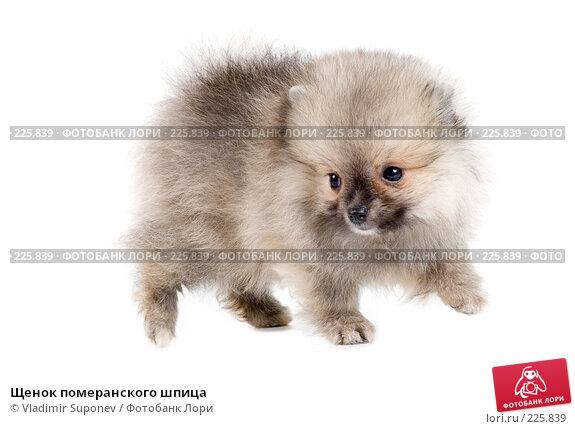 Купить «Щенок померанского шпица», фото № 225839, снято 30 августа 2007 г. (c) Vladimir Suponev / Фотобанк Лори