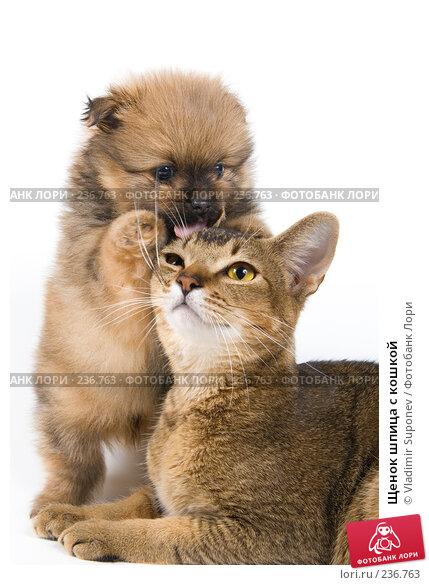 Купить «Щенок шпица с кошкой», фото № 236763, снято 16 марта 2008 г. (c) Vladimir Suponev / Фотобанк Лори