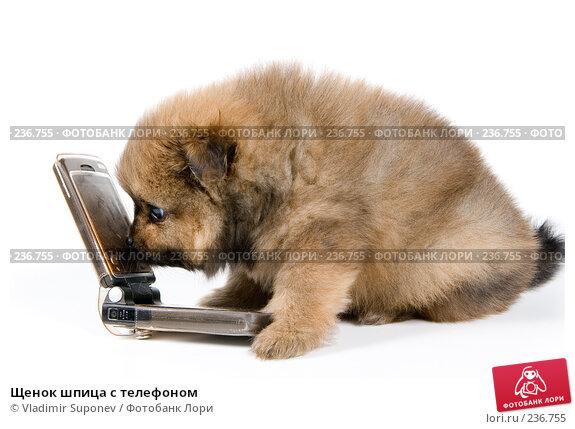 Щенок шпица с телефоном, фото № 236755, снято 16 марта 2008 г. (c) Vladimir Suponev / Фотобанк Лори