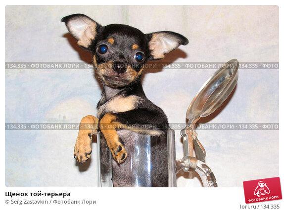 Купить «Щенок той-терьера», фото № 134335, снято 6 ноября 2004 г. (c) Serg Zastavkin / Фотобанк Лори