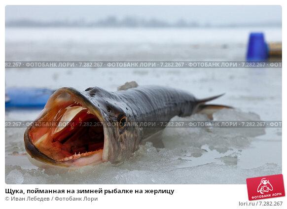 Щука, пойманная на зимней рыбалке на жерлицу. Стоковое фото, фотограф Иван Лебедев / Фотобанк Лори