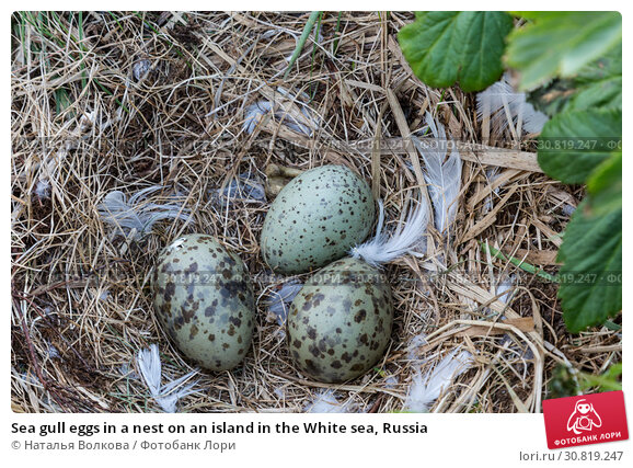 Купить «Sea gull eggs in a nest on an island in the White sea, Russia», фото № 30819247, снято 17 июня 2018 г. (c) Наталья Волкова / Фотобанк Лори